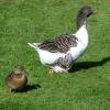Mallard duck and large Goose