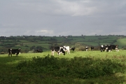 Cruwys Morchard: cattle in a field near Lythe-land