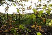 Runner beans, Summerwood Farm