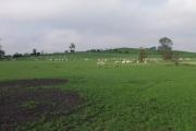 Sheep grazing at Tainant