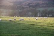 Field near Bonnington with sheep