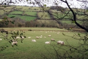 Sheep in the Monnow Valley