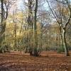 The Beechwoods in Autumn