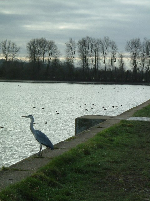 The heron waits at Wilstone