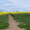Footpath through early rape crop