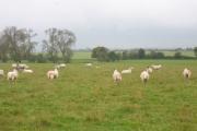 Sheep in a field near Hall End Farm