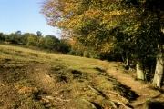 Beech trees near Hirst Mill Wood, Longwood