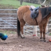 PEACOCK and horse