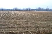 Maize stubble, Ashton, Peterborough