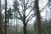 Woodland in Windsor Great Park