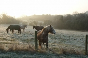 Horses above Littlebottom Wood