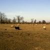 Sheep near Carlton, Leics