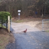 Pheasant at Wistley Grove
