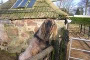 George the goat at Hazlehead Pets Corner