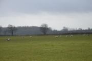 Sheep near Cottisford