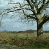 Hedgerow Oak at Whitesmith