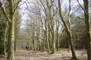 Primrosehill Wood near Tirley Hollow