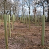 Young trees planted in Rough Leath Wood