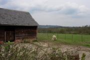 Old Cow Barn & sheep feeding her lambs