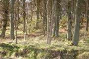 Cloag Wood.