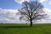 Tree and field near Berinsfield