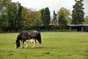 Shire Horses in Windlesham