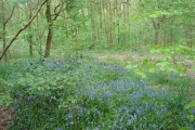 Bluebells in Dog Kennel Wood