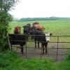 Bullocks in a field near Odd House