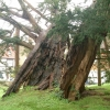 Yew Tree in Rotherfield Churchyard