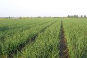 Onion crop, Broom, Beds