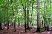 Spring woodland alongside the Lymington River, New Forest