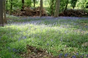 Bluebells in Rod Wood