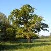 Oak near River Tale