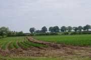 Field of Spuds