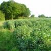 Beanfield at Castling's Heath, near Groton
