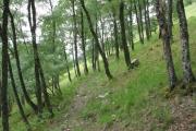 Birch woods