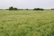 Barley fields north of Nearmarsh Farm