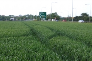 Winter wheat beside the A1, Biggleswade, Beds