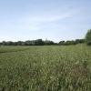 Wheat field between Hawstead Green and Melon Green