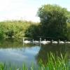 Swans + cygnets on the River Stour near Wimborne Minster