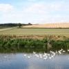 Swans on the River Wye near Brinkley Hill