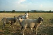 Sheep at Bramley Farm