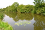 Water lilies, Pevensey Haven