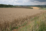 Field of wheat near Lower Chedworth