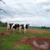 The National Grid and two cows