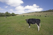 Cattle grazing on slopes of the river Fal