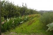 Mixed cultivation on Rorke's Drift Farm