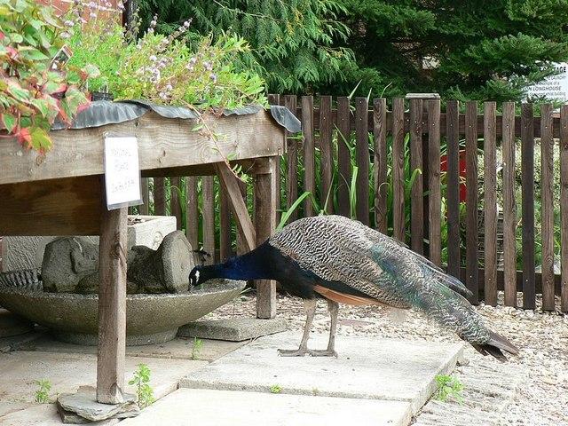 Peacock drinking, Escot