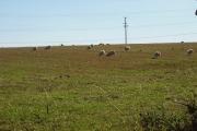 Sheep, Chapel Mains