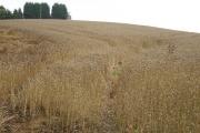 Wheat field, Branshill